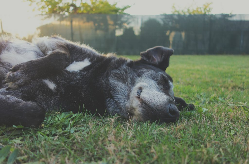 Masaža psov in artritis