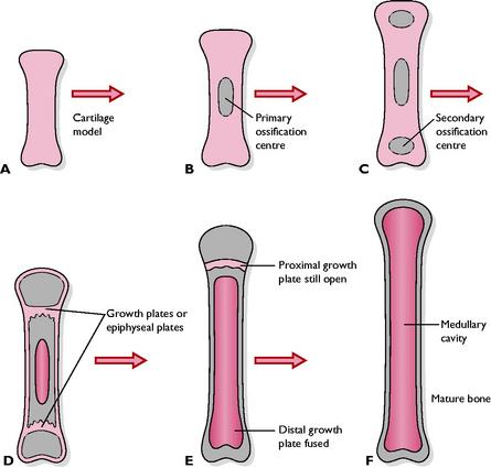 Rast dolgih kosti pri pasjih mladičkih